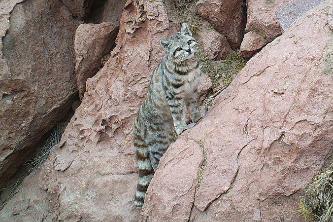 explora puritama biodiversity Andean cat